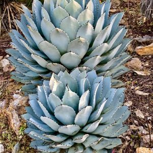 Agave truncata - Mexique